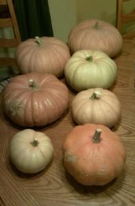Tan Cheese Pumpkins